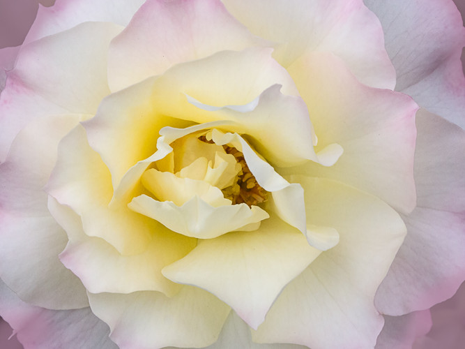 Pink Tinged Rose_Colleen Malley_First Pl
