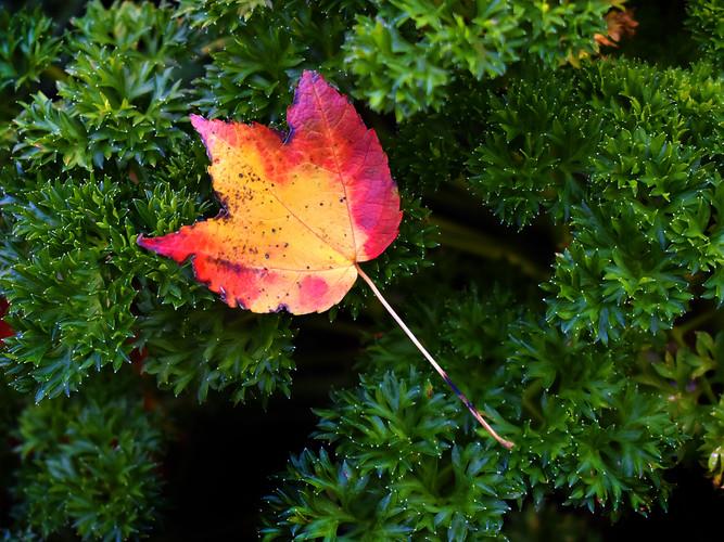 Parsley Leaf_Elaine Larson_23.jpg