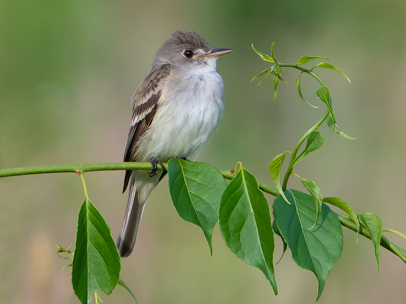 Willow Flycatcher_Second Place_Michael Krampitz