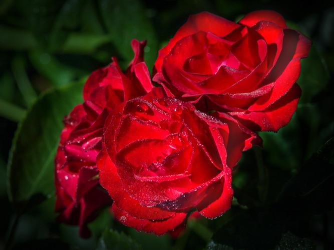 Roses_David Grossmann_21.jpg