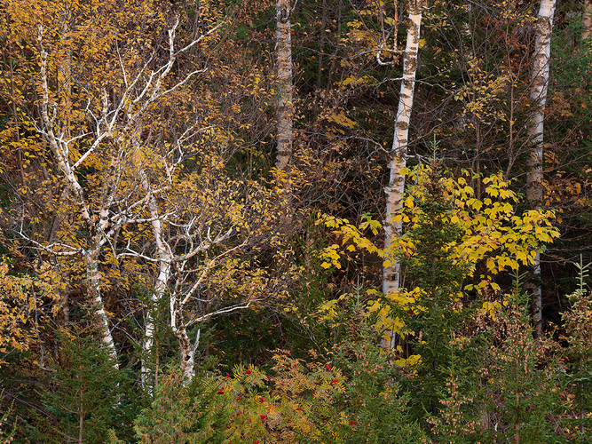 Fall Birches_Fred Tullock_Third Place_Th