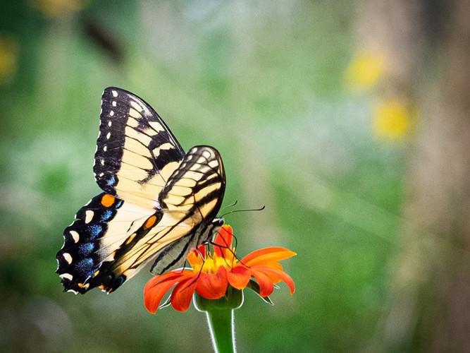 Butterfly Kiss_Ronald Blanchard_24.9_24.