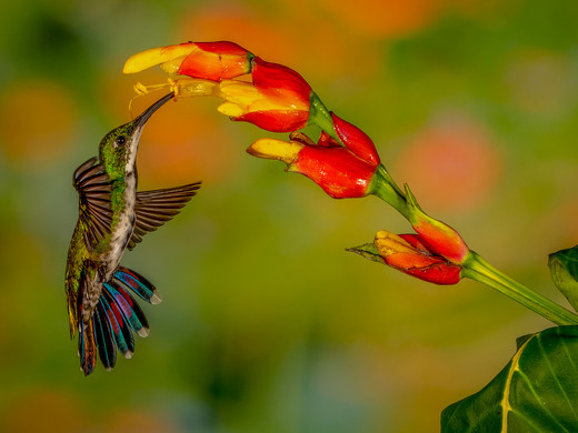 How I love my Nectar!_Carl Meisel_Honorable Mention_Honorable Mention.jpg