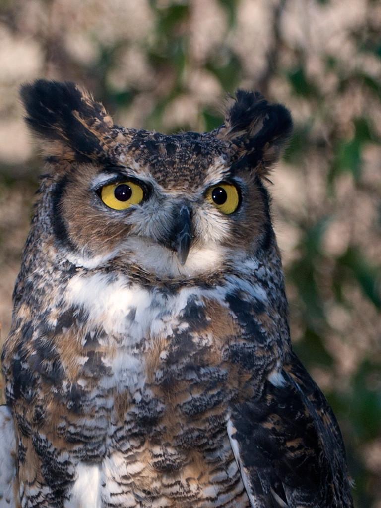 Eric Larson, Great Horrned Owl, Wingmast