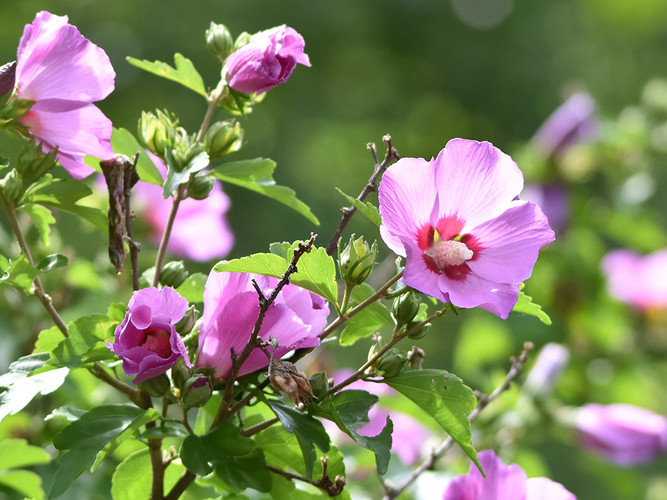 rose of sharon_15_Michelle Paradis
