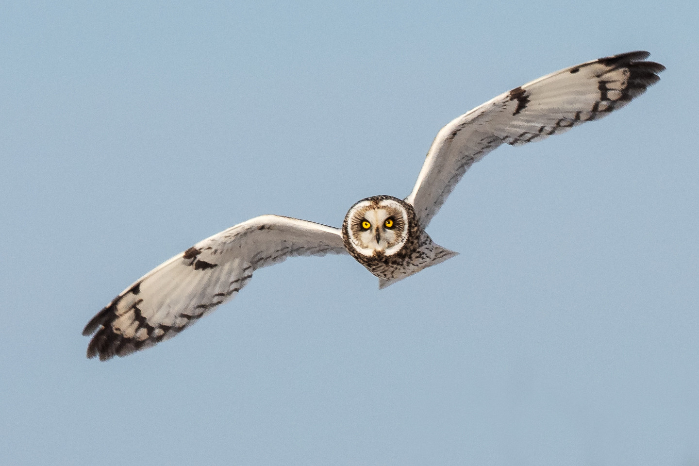 Shorteared Owl_David Grossmann_24.jpg