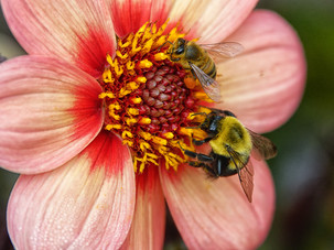 Competing for the pollen_Audrey Schulde_