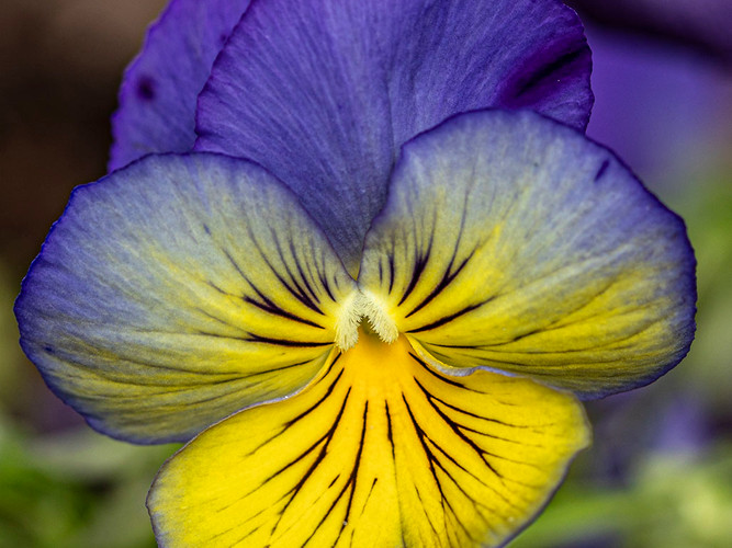 Complimentary Color Purple Yellow Flower