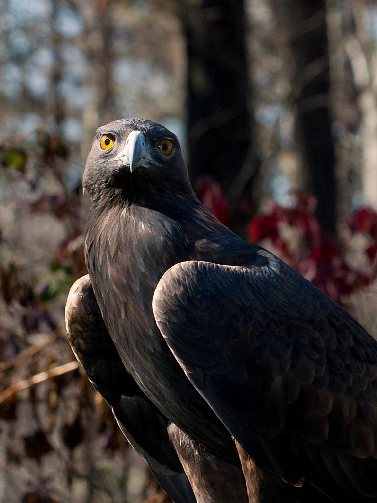 Eric Larson, Golden Eagle, Wingmasters,N