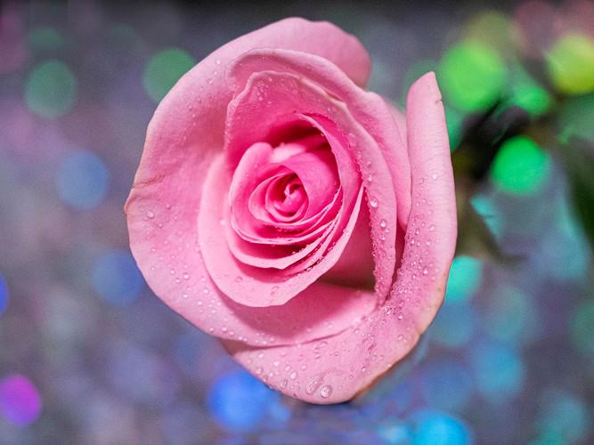 Pink Rose_Cathy Robbins_25.1_25.1.jpg
