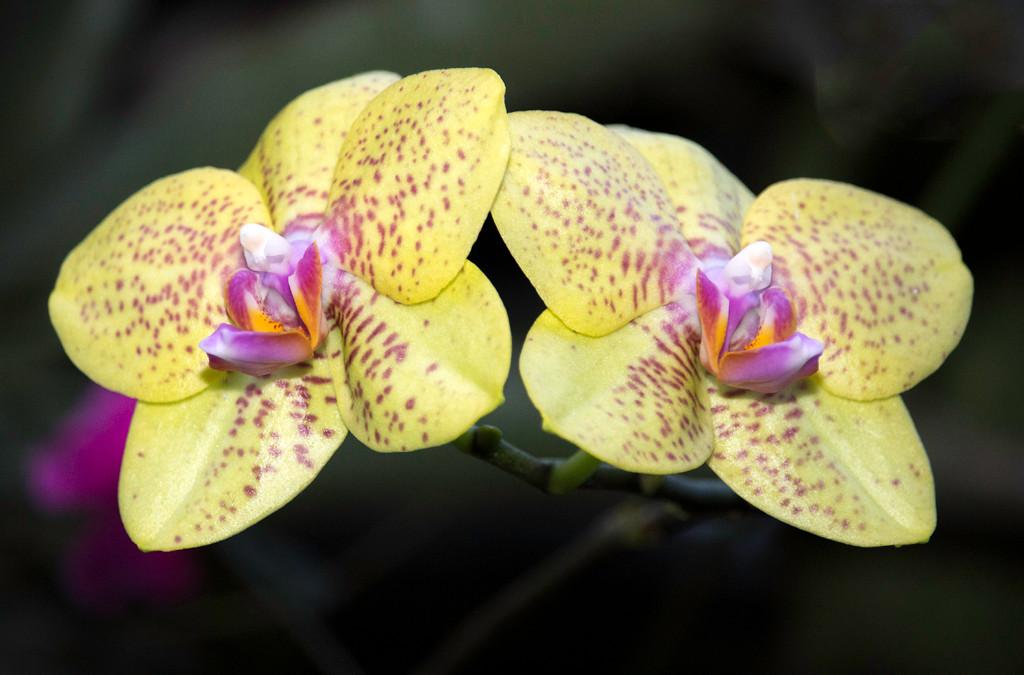 YellowPurpleOrchids.jpg