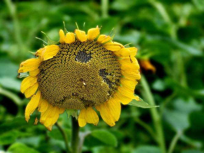 Sad end to Sunflower Season_19_19.jpg