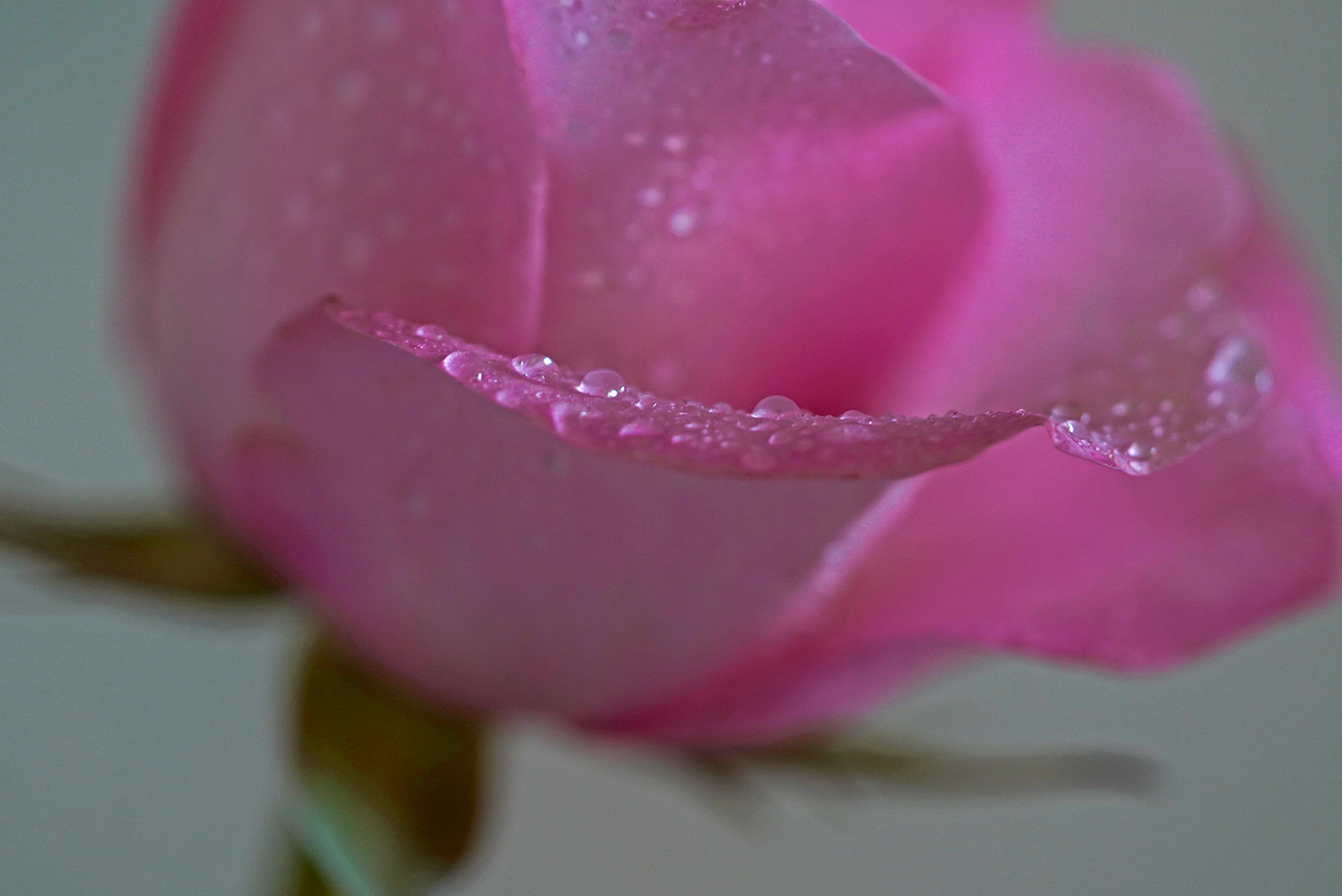 Raindrops on the rose_Audrey Schulde_Sec