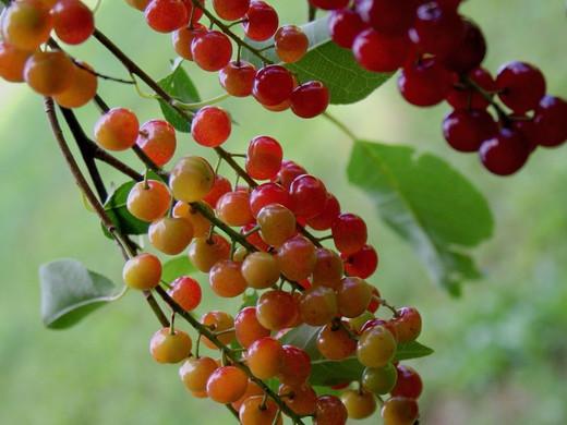 Wild Cherries_20 Louisa Leto