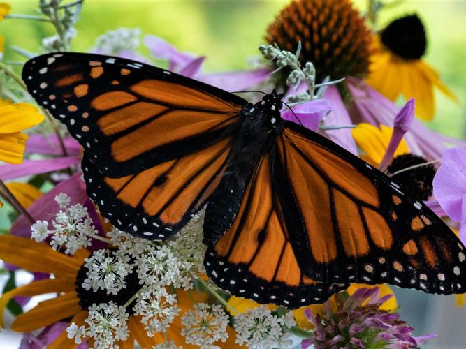 Male Monarch butterfly_Audrey Schulde_20
