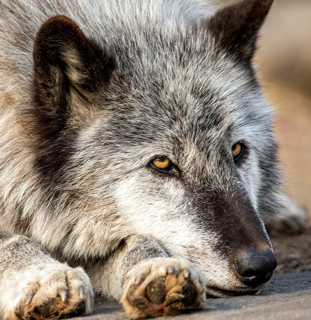 Zephyr the gray wolf in deep thought_Pau