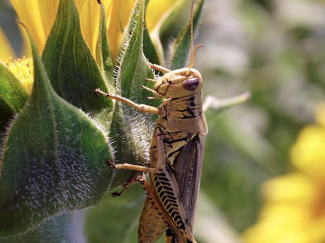 Mr. Grasshopper_Audrey Schulde_22.2_22.2