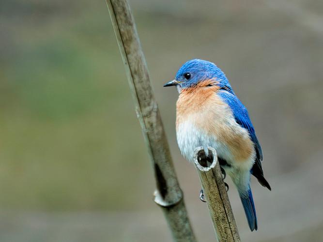 Bluebird in my garden_Audrey Schulde_Thi