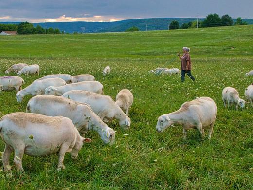 Shepherd tends her flock_Honorable Menti
