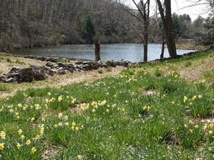 Daffodil Fields - Audrey Schulde