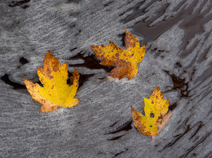 Leaves of Three_Fred Tullock_Honorable M