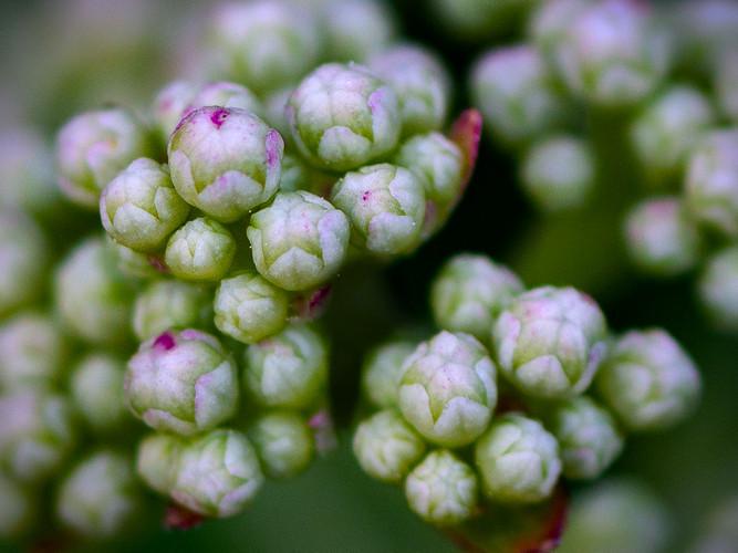 Hydrangea Buds_17_Jan Tullock