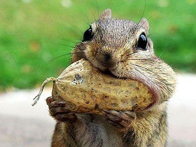 Squirrel eating a big nut