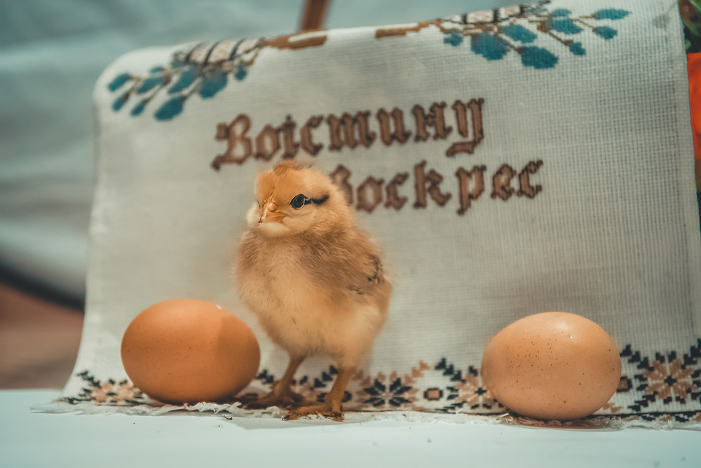 A small chick and two eggs symbolising a decision