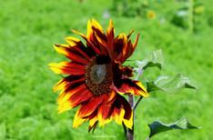 Sunflower Royal Botanical Gardens Sydney