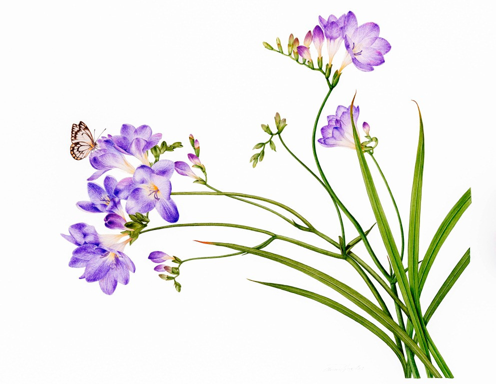 Freesia and Caper White Butterfly by Annie Hughes