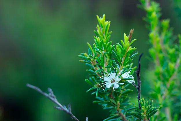 Kunzea ambigua plant