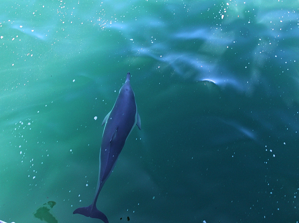 Dolphin in NSW