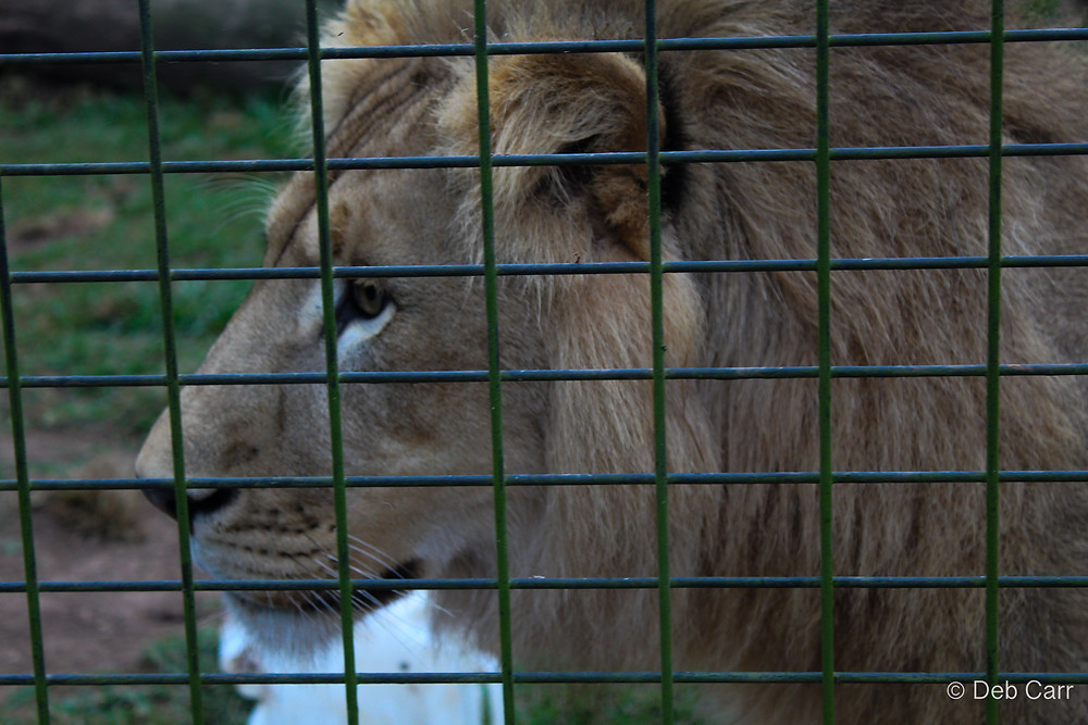 Lion Billabong Zoo Port Macquarie
