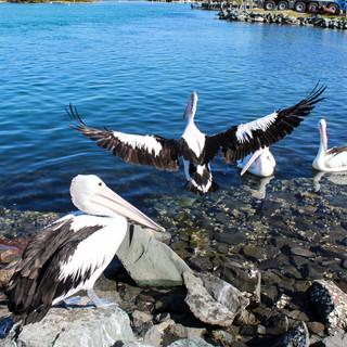 Pelicans Watching the Fishermen