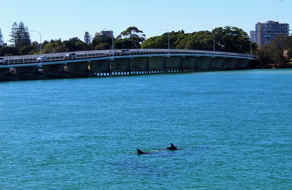 Dolphins in Wallis Lake Forster Tuncurry