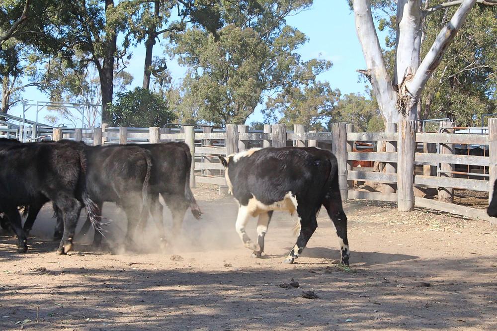 Cattle Sales Nabiac