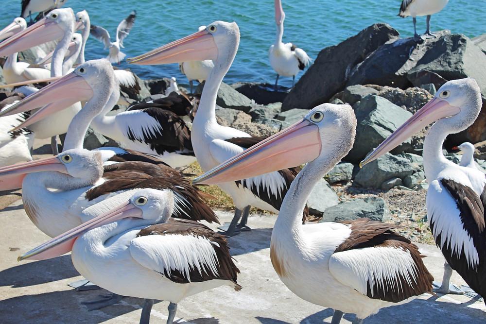 Pelicans Mid North Coast NSW