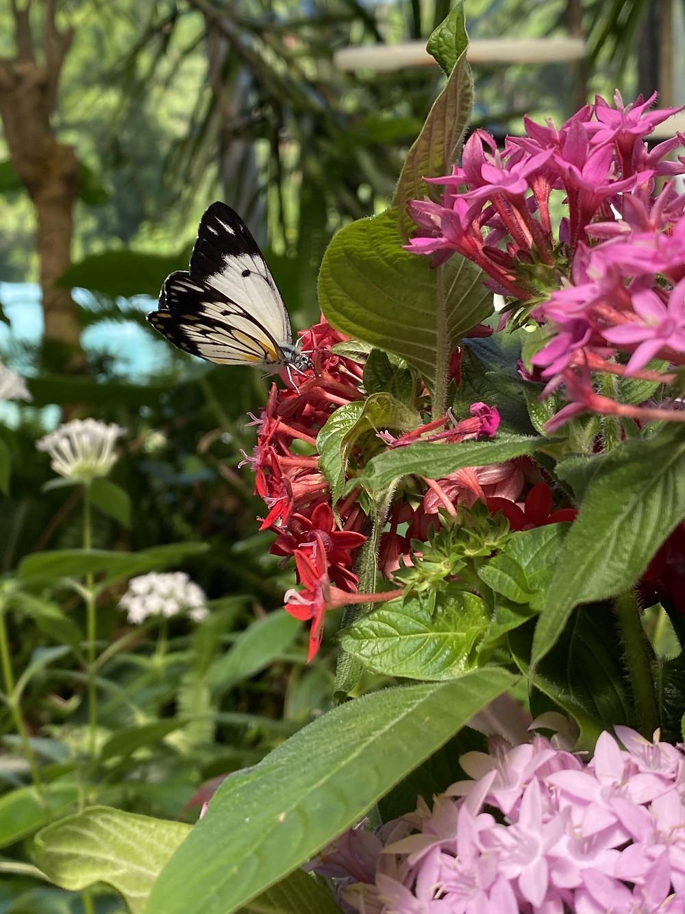 Caper Wing Butterfly