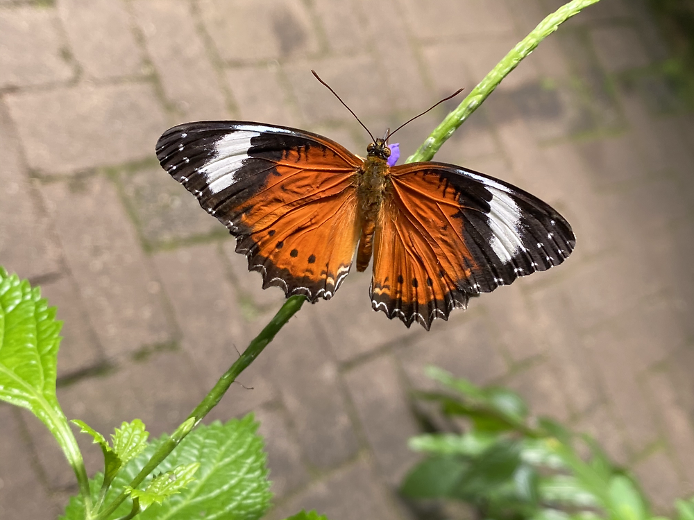 Male lacewing butterfly