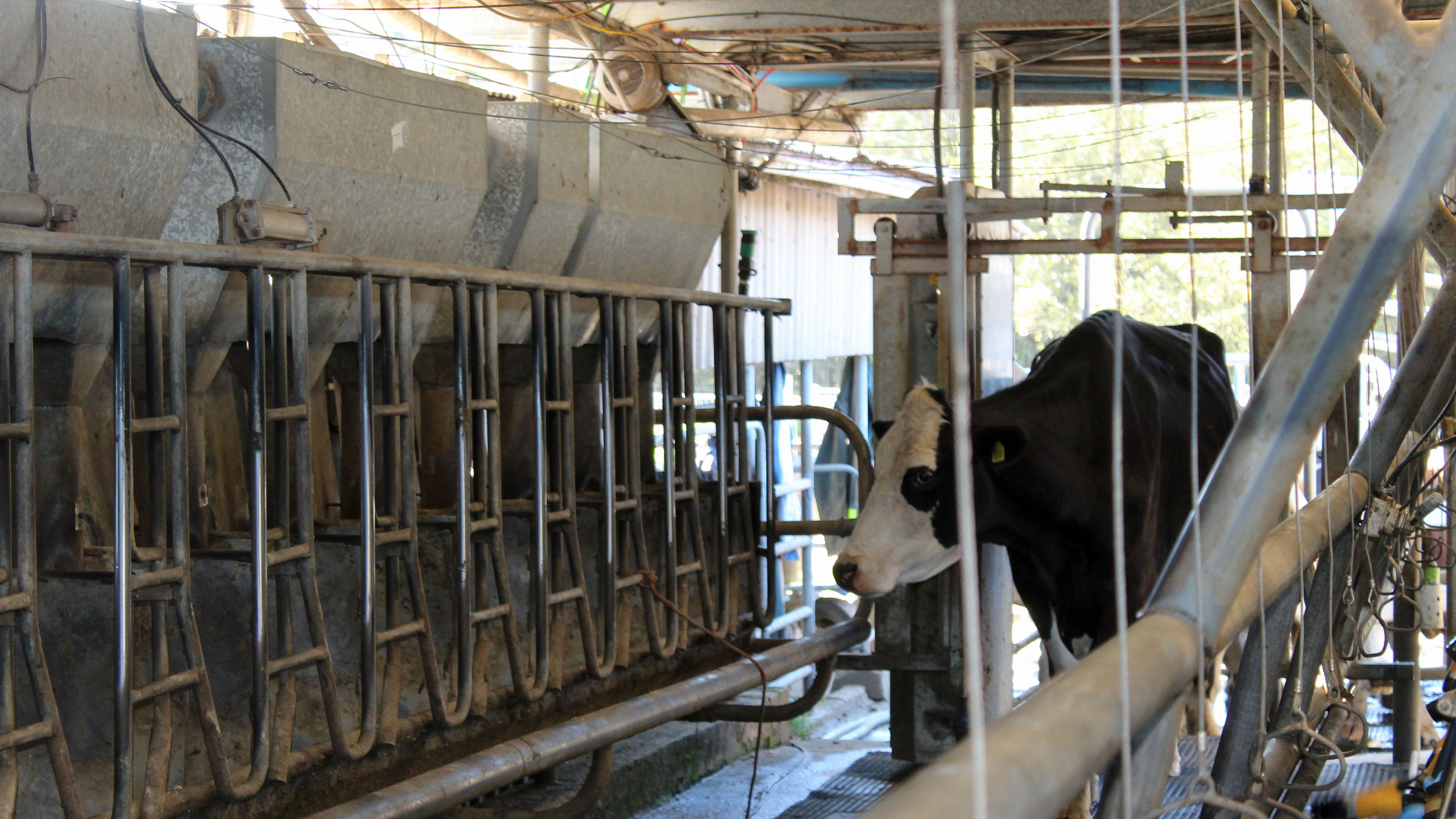 The cows come in and line up to be milked. There's a sort of pecking order, some prefer to be at the front.