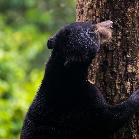 Save Your Skin and Help Save Sun Bears