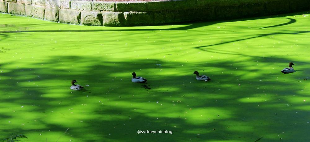 Ducks in green algae