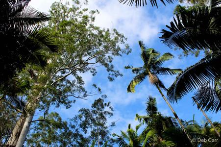 Tallest Tree in NSW
