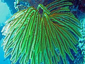 Feather Starfish - Beautiful Marine Life