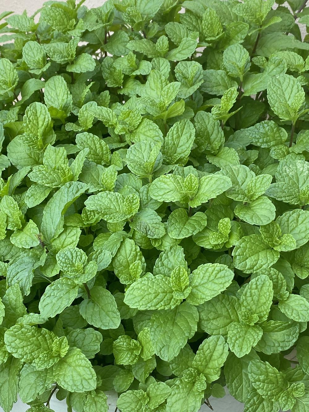 Growing mint in a pot