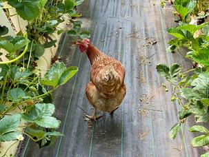 Ricardoes Tomatoes & Strawberries Port Macquarie