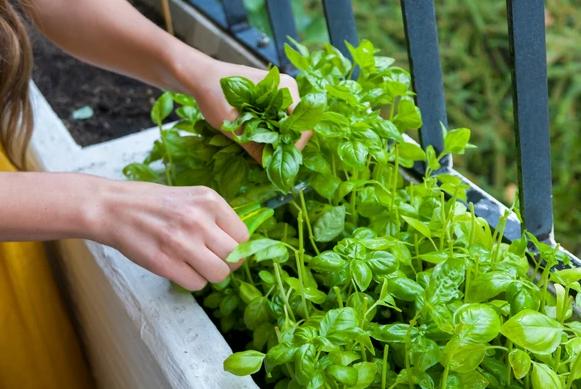 Grow an edible garden in an apartment