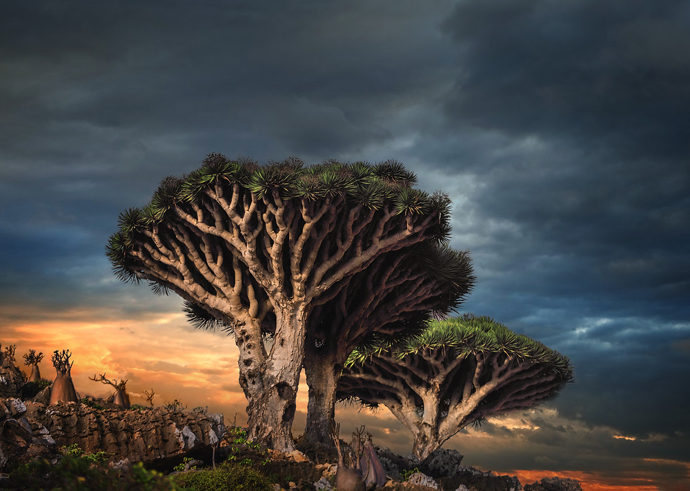 The Magnificent Dragon Blood Tree
