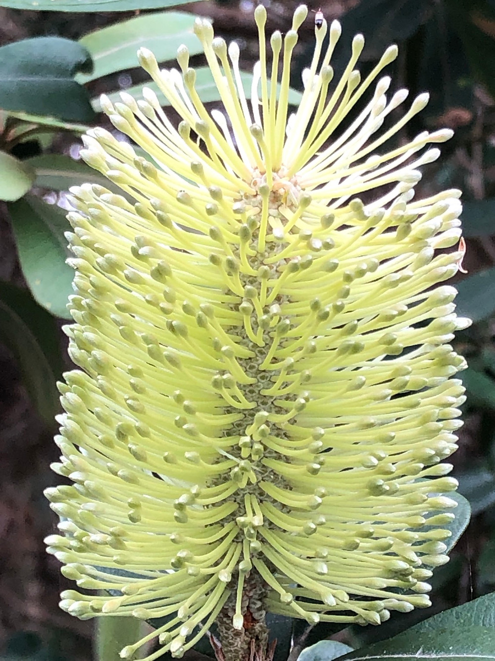 NSW Coastal Banksia