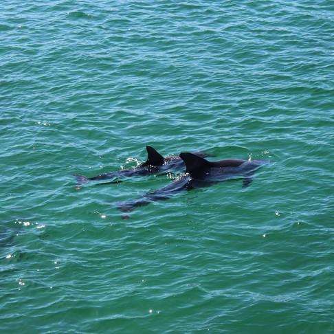 Amaroo Cruises Dolphin Watching